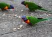 Foto 23 - Lorichetti arcobaleno (Trichoglossus haematodus) al Camping Shoal Bay Holiday Park (Port Stephens-Shoal Bay, NSW, Australia) - – (Dati di scatto: Canon EOS 7D, Canon 24-105 f/4 L IS USM, 1/125 sec, f/4.0, ISO 200, mano libera)