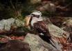 Foto 24 - Il Kookaburra (Dacelo novaeguineae), uno dei simboli d'Australia (Gan Gan Lookpoint, Anna Bay, NSW, Australia) - – (Dati di scatto: Canon EOS 7D, Canon 24-105 f/4 L IS USM, 1/8000 sec, f/4.0, ISO 800, mano libera)