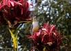 Foto 26 - Antocera rossa, un melifagide (Red wattlebird, Anthochaera carunculata) al Gan Gan Lookpoint (Anna Bay , NSW, Australia) – (Dati di scatto: Canon EOS 7D, Canon 24-105 f/4 L IS USM, 1/2000 sec, f/4.0, ISO 800, mano libera)