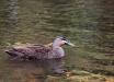 Germano-del-Pacifico-Pacific-Black-Duck-Anas-superciliosa