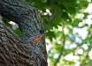Merlo-americano-American-robin