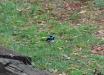 Scricciolo-azzurro-superbo-Superb-Fairy-wren-Malurus-cyaneus