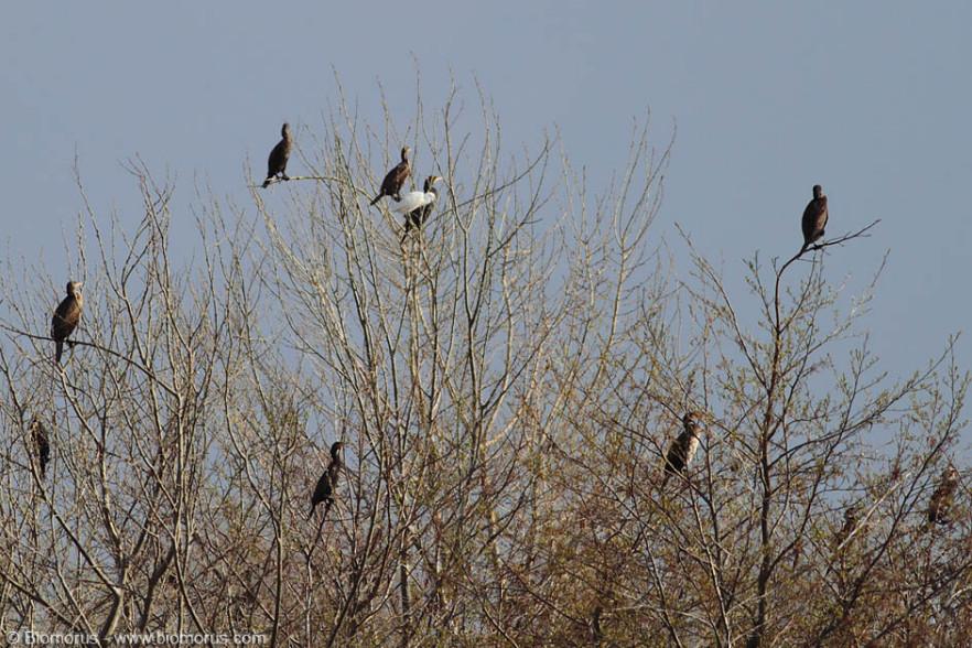 DPP07DA0B140E3115 – L'albero dei cormorani (Phalacrocorax carbo) – (Canon EOS 7D, Canon 400mm f/5.6 L, 1/1250 s, f/5.6, ISO200, mano libera).