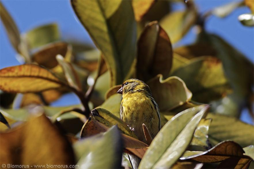Verzellino mimetizzato nella magnolia alla ricerca di un posto dove mettere su casa.
