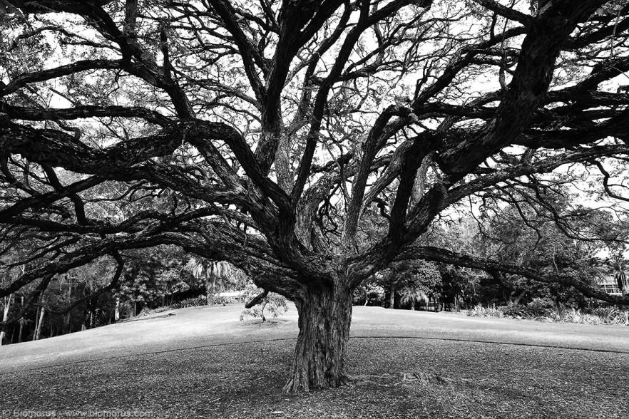 Albero del giardino botanico di Brisbane (QLD, Australia) - (Dati di scatto: Canon EOS 7D, Sigma 8-16 f/4.5/5.6 DC HSM, 1/32 sec, f/9, ISO 100, mano libera)
