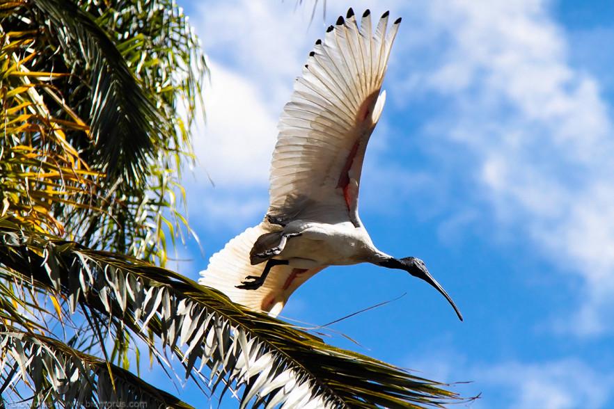 Ibis australiano del giardino botanico (Brisbane, QLD, Australia) – (Dati di scatto: Canon EOS 7D, Canon 24-105 f/4 L IS USM, 1/8000 sec, f/4.0, ISO 1600, mano libera)