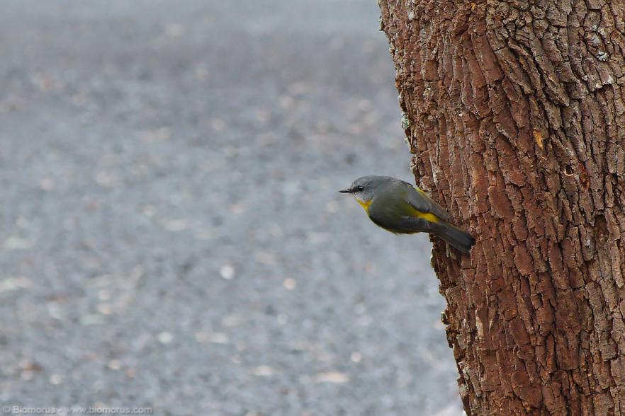 Foto 12 - Pigliamosche giallo australiano (Eopsaltria australis) all'entrata del Dorrigo National Park (NSW, Australia) - (Dati di scatto: Canon EOS 7D, Canon 24-105 f/4 L IS USM, 1/400 sec, f/5.6, ISO 800, mano libera)
