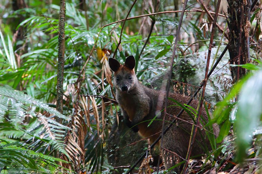 Foto 15 - Un wallaby (Wallabia bicolor o wallaby delle paludi) incontrato lungo il tragitto nel Dorrigo (NSW, Australia) - (Dati di scatto: Canon EOS 7D, Canon 24-105 f/4 L IS USM, 1/16 sec, f/5.0, ISO 3200, mano libera)