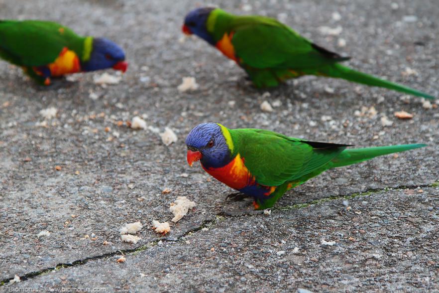 Foto 23 - Pappagalli al Camping Shoal Bay Holiday Park (Port Stephens-Shoal Bay, NSW, Australia) - – (Dati di scatto: Canon EOS 7D, Canon 24-105 f/4 L IS USM, 1/125 sec, f/4.0, ISO 200, mano libera)