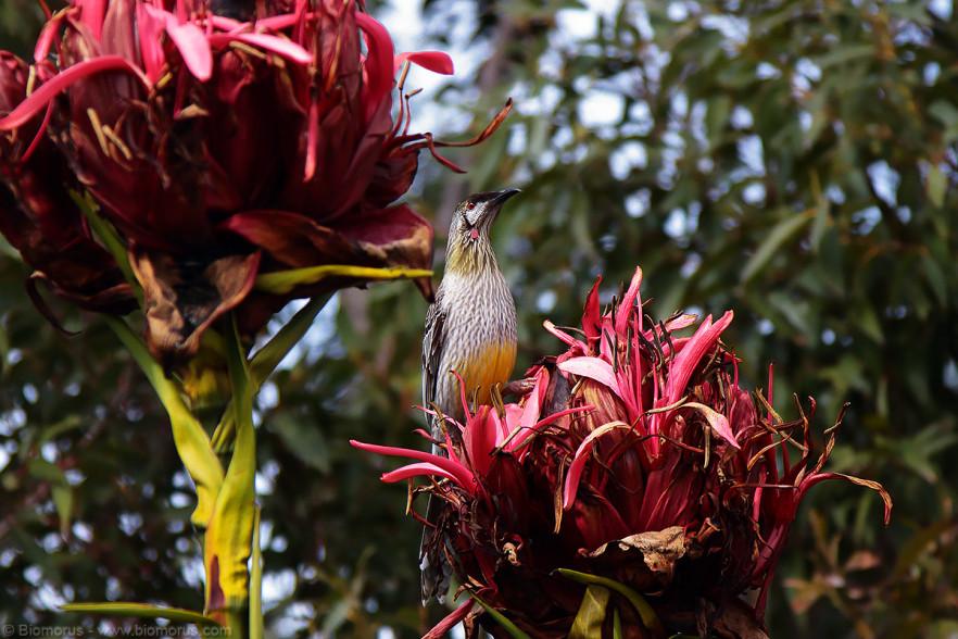 Foto 26 - Un melifagide (Red wattlebird, Anthochaera carunculata) al Gan Gan Lookpoint (Anna Bay , NSW, Australia) – (Dati di scatto: Canon EOS 7D, Canon 24-105 f/4 L IS USM, 1/2000 sec, f/4.0, ISO 800, mano libera)