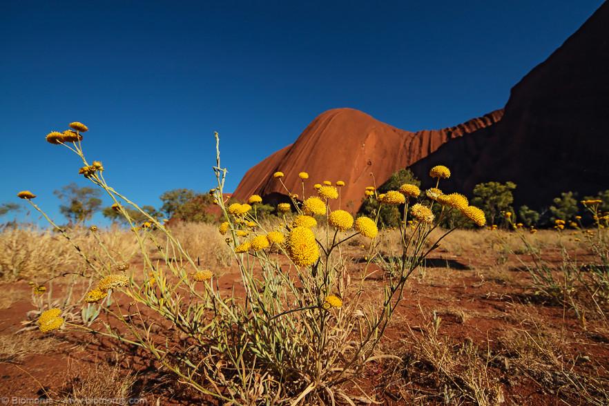 Foto 43 - Fiori gialli di Uluru (NT, Australia) - (Dati di scatto: Canon EOS 7D, Sigma 8-16 f/4.5/5.6 DC HSM, 1/2000 sec, f/8, ISO 400, mano libera a terra)