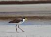 Foto 10 - Pavoncella mascherata (Vanellus miles) sulla spiaggia di Byron Bay (NSW, Australia) - (Dati di scatto: Canon EOS 7D, Canon 24-105 f/4 L IS USM, 1/800 sec, f/4.0, ISO 100, mano libera)