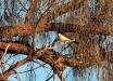 Willie-Wagtail-Rhipidura-leucophrys